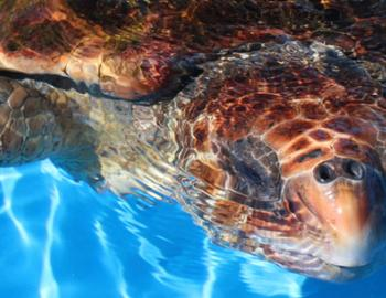 Gulfarium Turtle